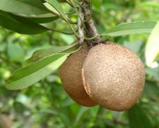 Sapota fruit (Manilkara zapota or സപ്പോട്ട in Hindi). Photo by Sugeesh (http://en.wikipedia.org/)