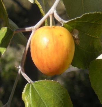 Ber fruit (Ziziphus mauritiana) and foliage, Mount Archer National Park, Rockhampton. Photo by Ethel Aardvark (http://en.wikipedia.org/)